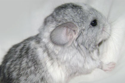 Chinchilla Colorful Picture