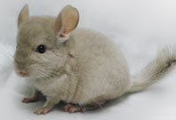 Chinchilla Dark Brown Color