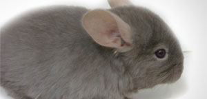 Chinchilla Eye And Ears View Picture
