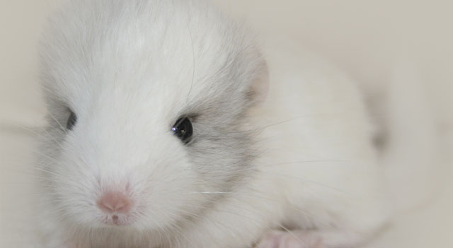 Chinchilla Picture White Color