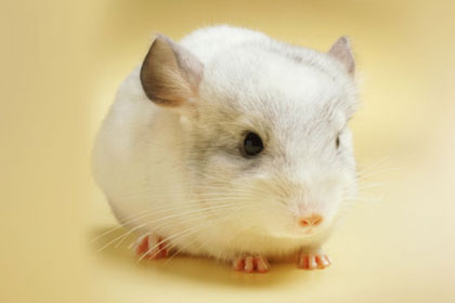 chinchilla care - img