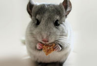 Chinchilla Eating Picture
