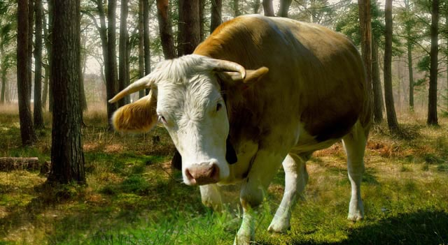 Cow In Grass