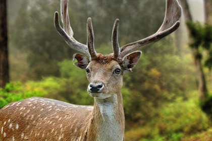 Deer Antlers View Picture