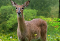 Deer Gazzing Picture In Garden