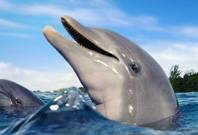 Dolphin Mouth View In Water
