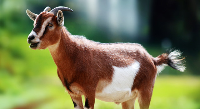Types of Goats - Domestic Goat