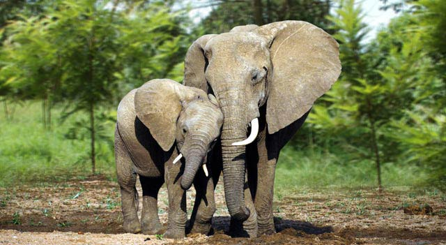 Are Elephants Mammals >> Elephant Facts Elephants Pictures Habitats