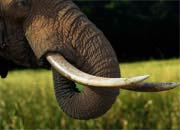 Elephant Tusk Facts Elephant Teeth Facts