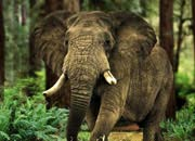 Elephant Endangered Species Facts