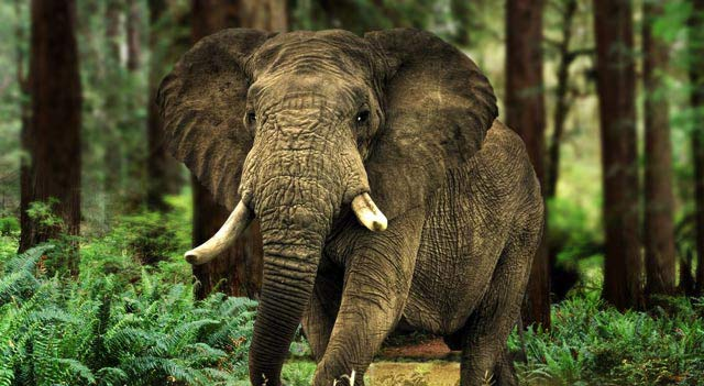 Endangered Elephants Species Facts
