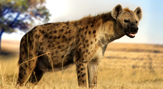 Facts About Hyenas