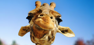 Giraffe Are Furious Picture
