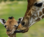 Giraffes Facts