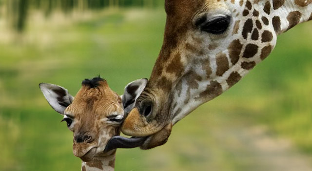 Giraffe Facts For Kids Picture