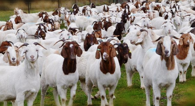 Goat Herd Picture
