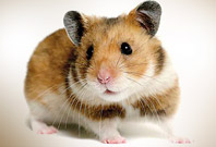 Hamster Are Gazzing View Picture