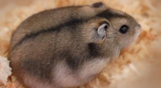 average lifespan of a pet hamster wrocawski informator