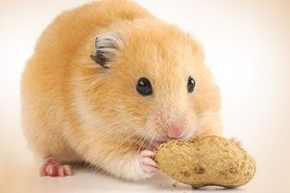 Hamster Some Eat Fruit