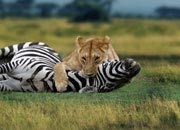 How Much A Lion Can Eat In One Meal