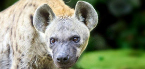 Facts About Hyenas - Hyena Picture