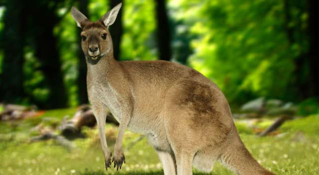 Kangaroo In Jungle