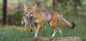 Kit Fox Eat Picture