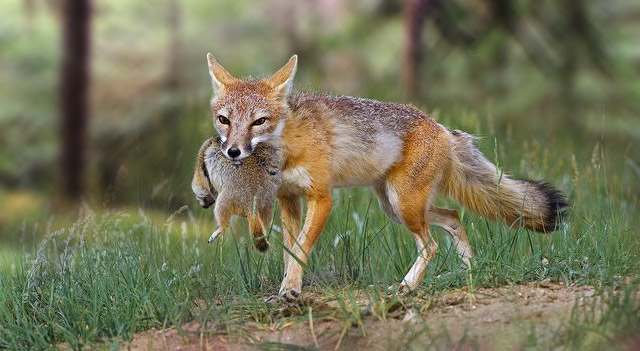 Does Red Foxes Eat Cats