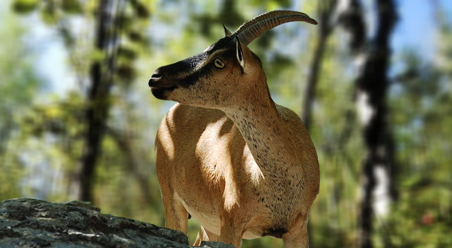 Types of Goats - Kri-Kri