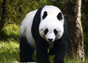 Largest Panda In The World