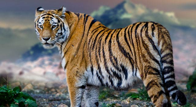 Largest Tiger In The World