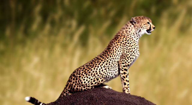 Leopards Wild Cat