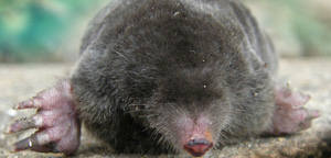 Mole Resting In Mud