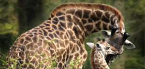 Mom And Baby Giraffe Picture