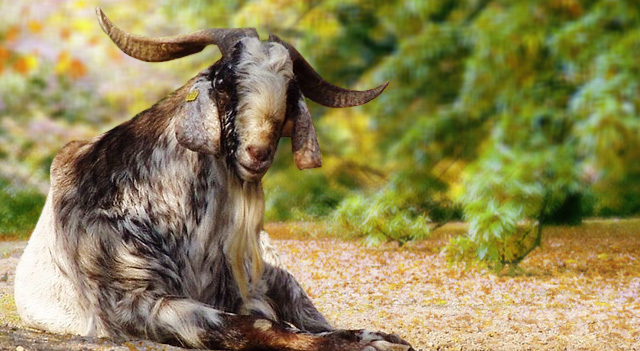 Types of Goats - Nubian Goat