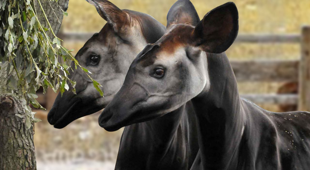 Okapi diet - photo#28