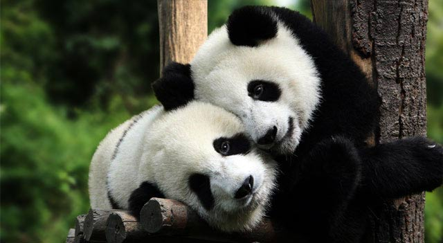 Panda Bears Facts And Pictures