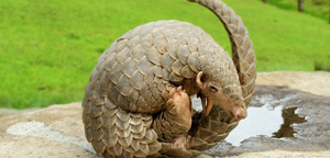 Pangolin Curled Up