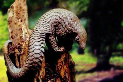 Pangolin In Jungle