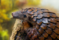 Pangolin Mouth View