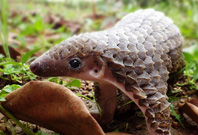 Pangolin Picture
