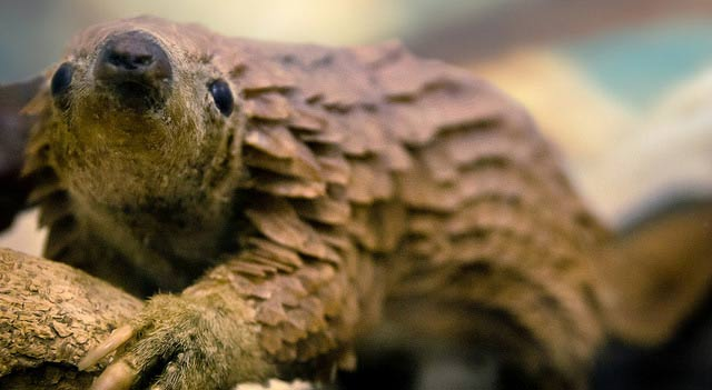 Pangolin Resting On Wood