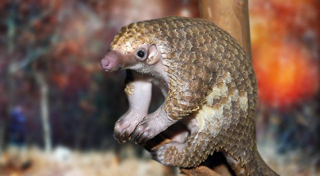 Pangolin Sitting On Wood