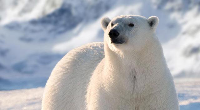 Polar Bear | Polar Bear Facts