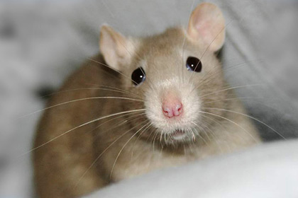 Rat Picture White Color