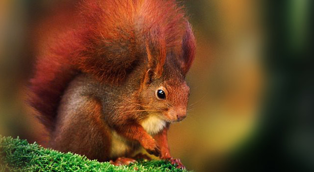 Red Color type Of squirrel Picture