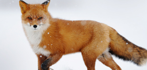 Red Fox Live Picture