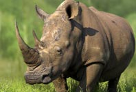 Rhino Facts, Pictures and Habitat Information