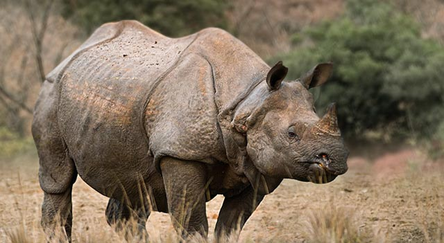 Rhinoceros Picture View