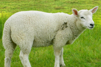 Sheep Are Firce View Picture